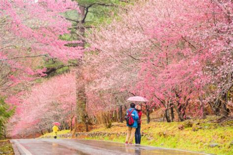 A Spring Guide to Taiwan Cherry Blossoms This 2019