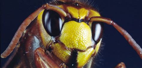 Giant hornets as big as a £2 coin arrive in UK after