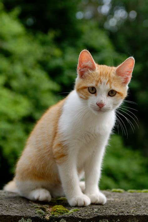 Chat Maine Coon A Donner - SOSanimaux