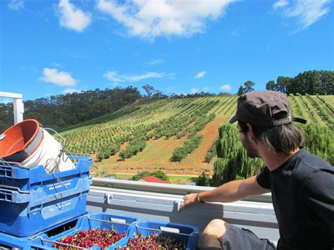 Fruit Picking on a Working Holiday Visa in Australia