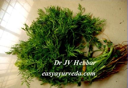 Dill Seed Benefits, How To Use, Side Effects, Ayurveda Details