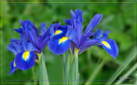 Iris bleu 01 - Fleur Iris De Hollande Nature - Iris Hollandica