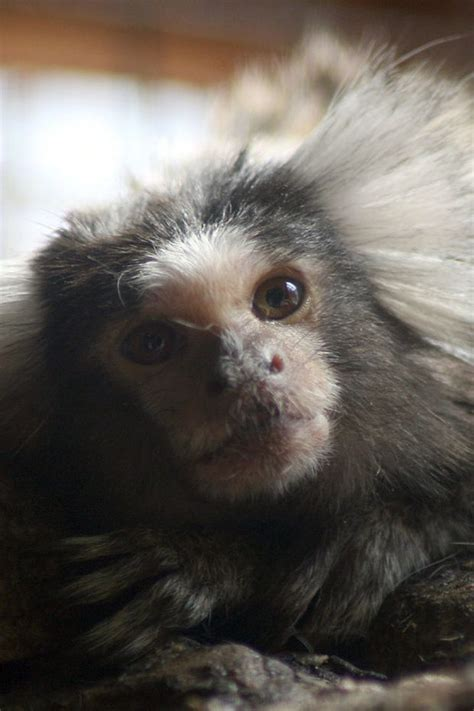 Pet monkey seized from Lowell home | masslive