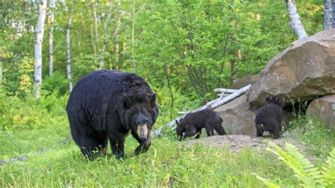 Russie : quand les ours attaquent