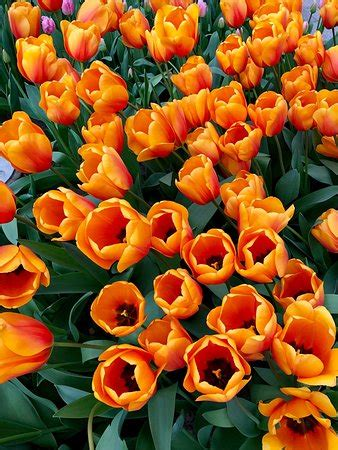 Keukenhof (Lisse) - 2019 All You Need to Know BEFORE You