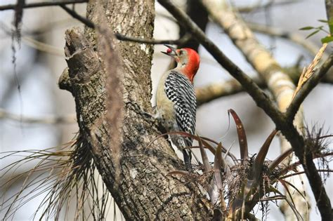 Detailed information on Red-bellied Woodpecker (Melanerpes