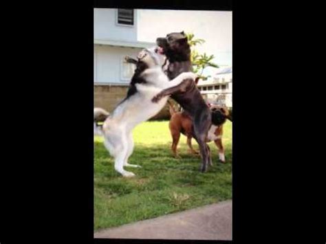 Pit bull vs Husky a dog fight to the death - YouTube
