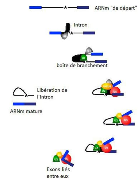 Transcription des ADN - Blog de biomolbts