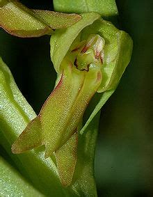 Orchis grenouille — Wikipédia